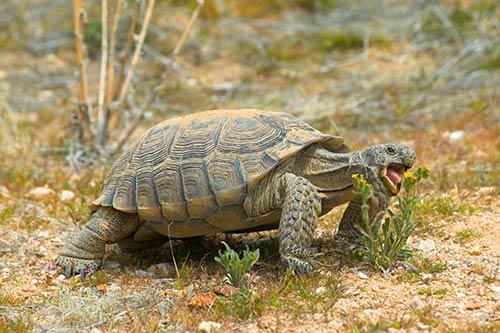 desert-tortoise