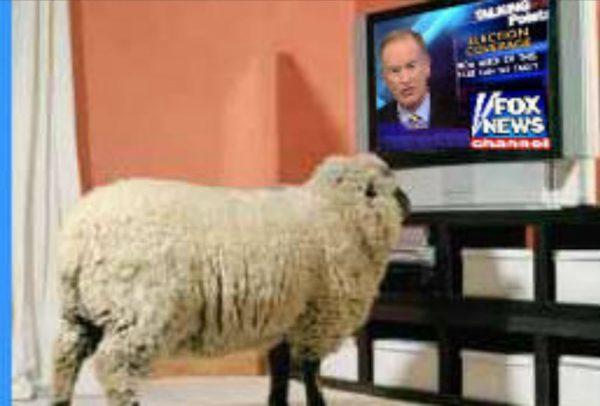 sheep watches fox news