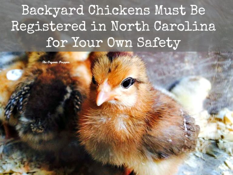 Backyard Chickens Must Be Registered in North Carolina for Your Own Safety