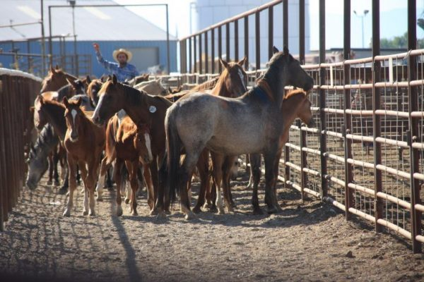blm-to-slaughter-wild-horses