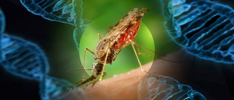 Genetically Engineered Mosquitoes To Be Released In 20 States