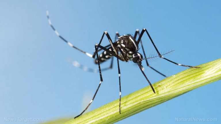 GM nightmare unfolds: Humans have created a MONSTER MOSQUITO that can now RESIST the pesticides meant to kill them
