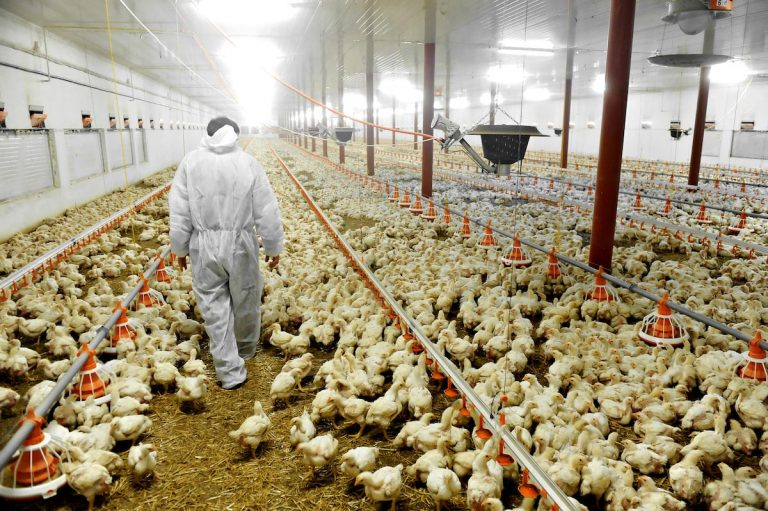 U.S. chicken farms are so dirty, meat has to be washed with chlorine before being sold for human consumption