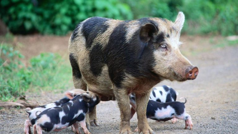 Texas tries to poison feral hogs with sodium nitrite – same ingredient found in bacon – kill hundreds of birds instea