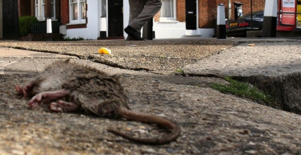 Baltimore's Rat Problem is So Bad, Roads Are Collapsing