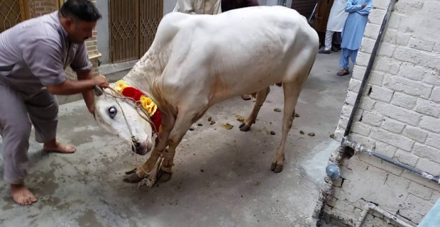 Muslim Cleric Killed After Cow He Was About to Ritually Slaughter Fights Back