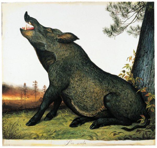 Wild Pigs party on hidden cocaine stash