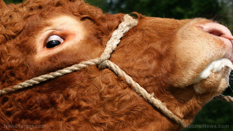 """Experimental Covid-19 """"vaccines"""" could cause mad cow disease"""